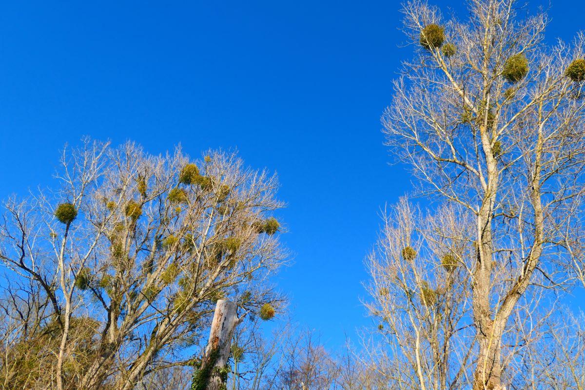 Kahle Bäume mit Misteln